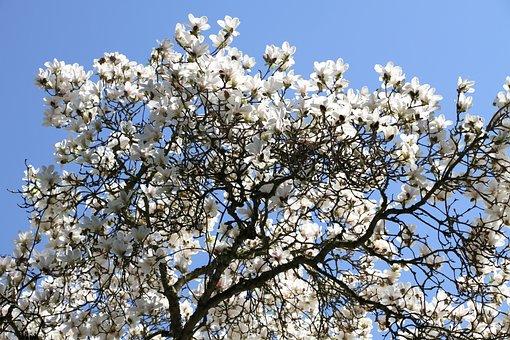 Tree, Magnolia Tree, Beautiful, Nature, Flowers