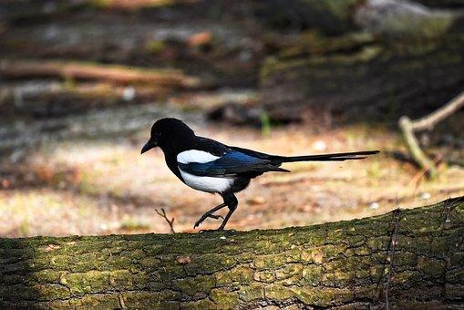 Magpie, Bird, Animal, Eurasian Magpie, Pica Pica