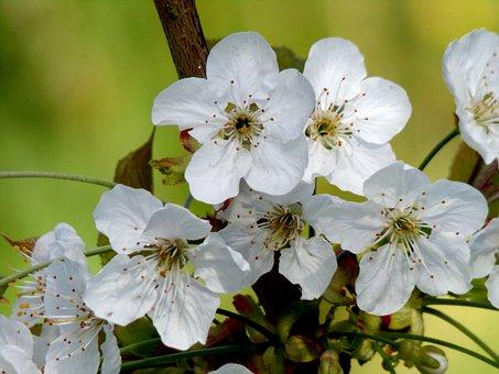 Flower, Plant, Nature, Cherry, Tree, Branch, Garden