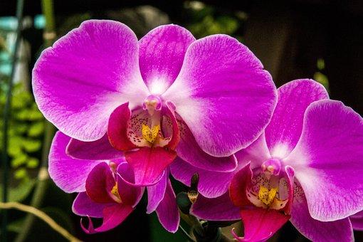 Purple Orchid, Orchid, Flower, Nature, Plant