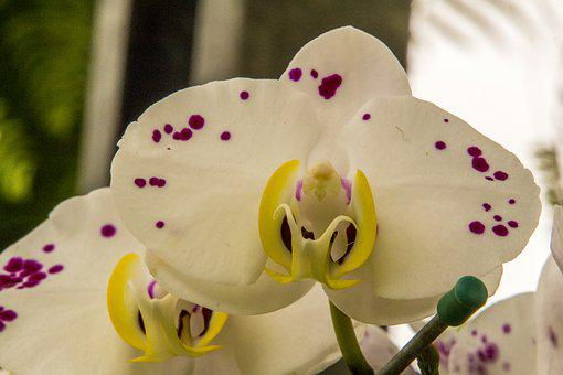 White Orchid, Flower, Nature, Plant, Color, Tropical