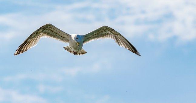 Bird, Flight, Nature, Sky, Freedom, Seagull, Summer