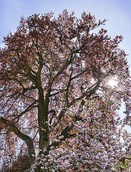 Tree, Park, Nature, Cherry Wood, Plant, Wood, Spring