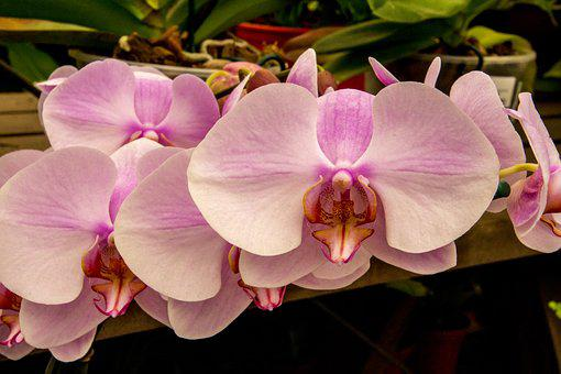 Orchid, Flower, Tropical, Plant, Pink Orchid, Exotic