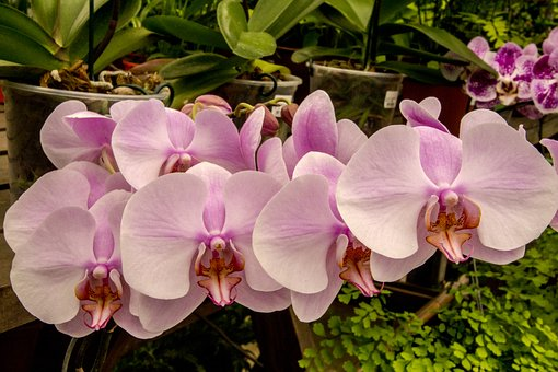 Orchid, Pink Orchid, Flower, Plant, Tropical, Nature