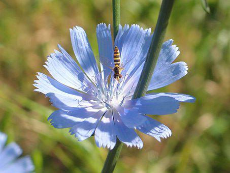 Nature, Outdoors, Plant, Flower, No One, Chicory, Blue
