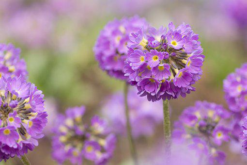 Flower, Plant, Nature, Floral, Flowers, Primrose, Pink