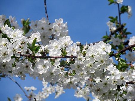 Flower, Sour Cherry, Branch, Plant