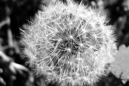 Dandelion, Plant, Nature, Flower, Growth, Seeds, Summer