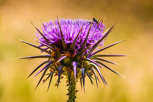 Nature, Prickly, Thistle, Flower, Spine