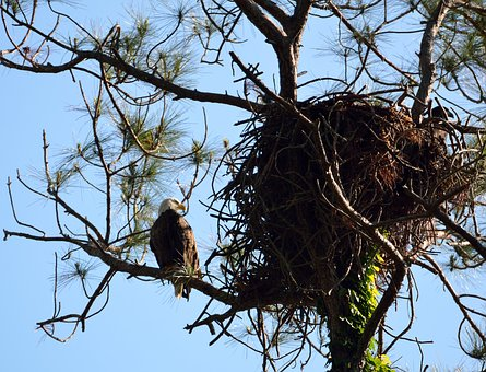 Nest, Bird, Tree, Raptor, Nature, Eagle, Bald Eagle