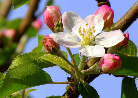 Nature, Flower, Tree, Branch, Plant, Bud, Apple, Fruit