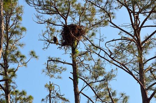 Nest, Bird, Tree, Raptor, Nature, Eagle, Bald Eagle