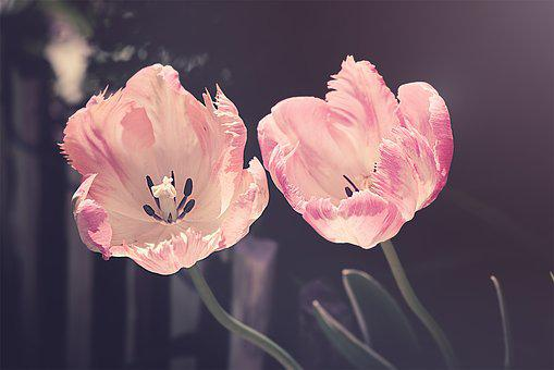 Tulips, Garden, Garden Flowers, Flower, Nature, Tulip