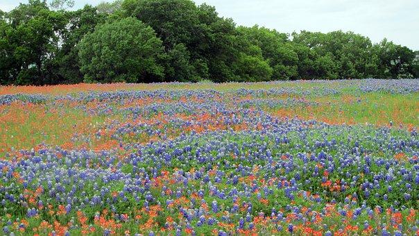 Flower, Field, Nature, Wildflower, Flora, Texas