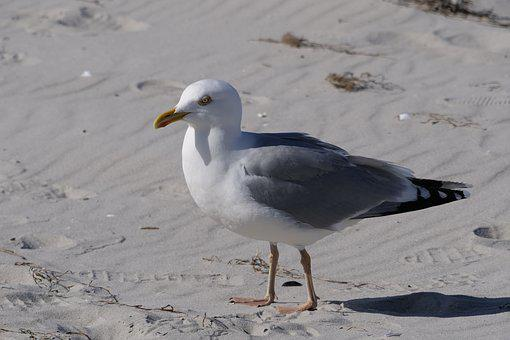 Bird, Gull, Beach, Sand, Baltic Sea, Animal World, Sea