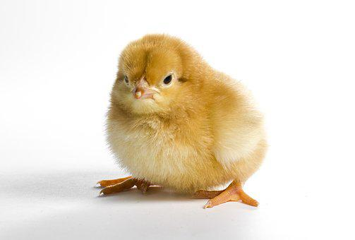 Little, Cute, Poultry, Dame, Easter, Chicken, Bird