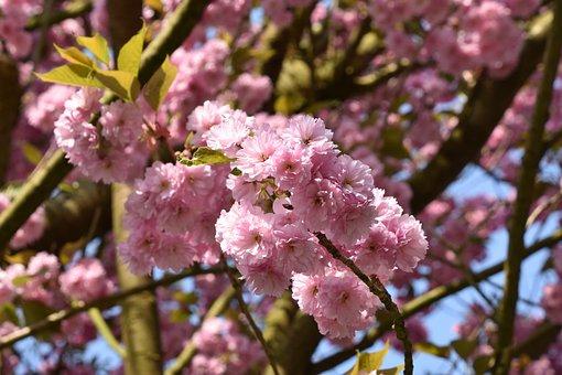 Flower, Tree, Cherry, Branch, Plant, Japan Cherry Tree