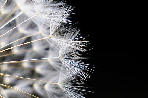 Dandelion, Nature, Seeds, Fluffy, Bright, Slightly