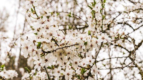 Cherry Wood, Cherry Blossoms, Branch, Flower, Tree
