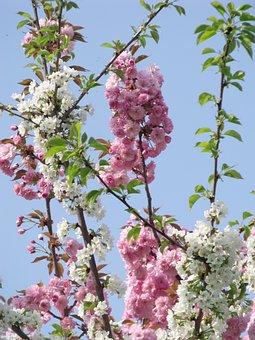 Flower, Tree, Branch, Cherry Wood, Plant, Flowers