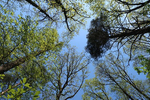 Tree, Nature, Crown, Leaves, Sky, Forest, Treetop