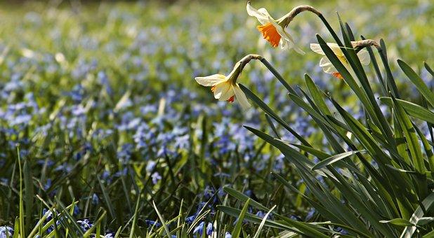 Flower Meadow, Daffodils, Osterglocken, Bluebell, Grass