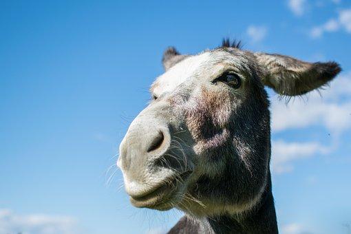 Animals, Mammals, Nature, Farm, Campaign, Donkey