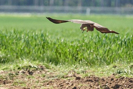 Milan, Eat, Worm, Bird, Wing, Bird Of Prey, Flight