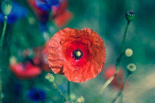 Flower, Flora, Nature, Poppy, Summer
