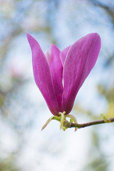 Flower, Nature, Plant, Garden, Outdoors, Magnolia