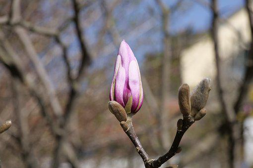 Nature, Tree, Magnolia Bud, Spring, Season, Flower