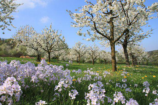 Cherry Blossom, Smock, Franconian Switzerland, Spring