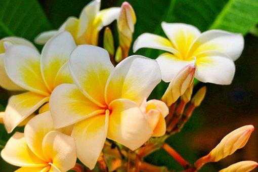 Flower, Frangipani, Plant, Tropical