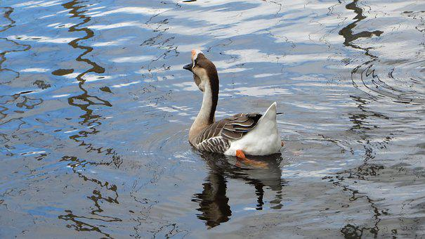 Goose From China, Body Of Water, Bird, Mare, Lake