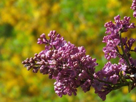 Flower, Nature, Plant, Season, Leaf, Summer, Lilac