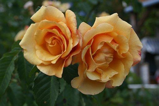 Flower, Rose, Plant, Leaf