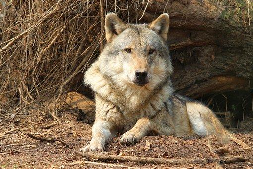 Nature, Mammal, Carnivores, Animal World, Wild, Wolf