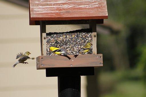 Bird, Bird Feeder, Golden Finch, Feeder, Nature