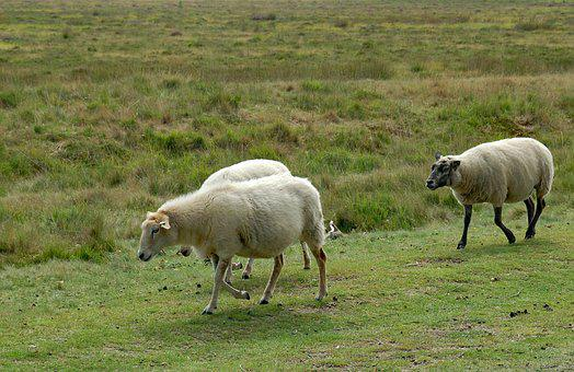 Sheep, Appelscha, Area, Nature, Tourism, White