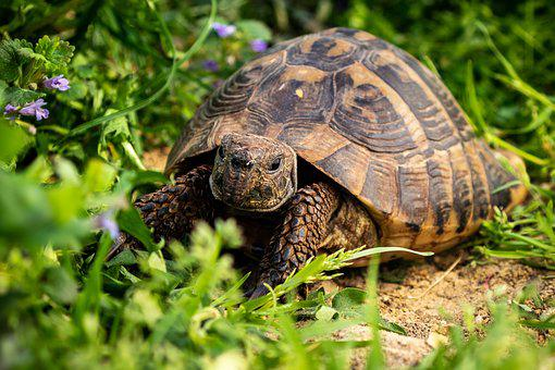 Nature, Slowly, Animal, Reptile, Turtle, Grass