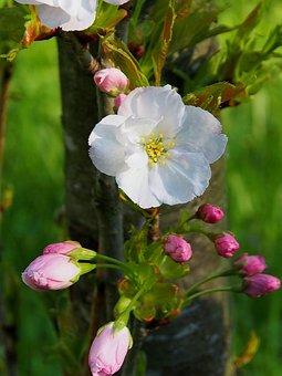 Flower, Nature, Plant, Spring, Ornamental Shrubs