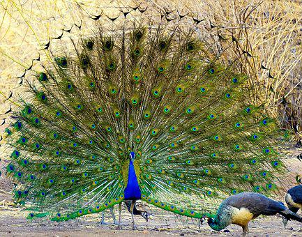 Peacock, Bird, Feather, Nature, Tail