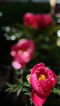 Peony, Red Flowers, In The Early Summer, Gardening