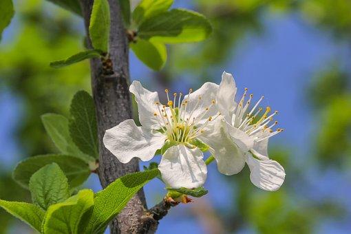 Flower, Nature, Plum Tree, Plum, Plant, Tree, Blossom