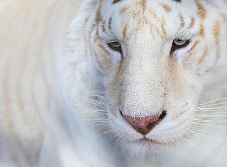 Animals, White Tiger, Portrait, Nature, Mammals