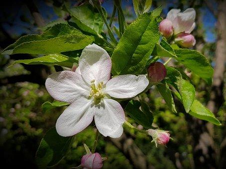 Apple Tree, Flower, Flowering, Tree, Garden, Spring