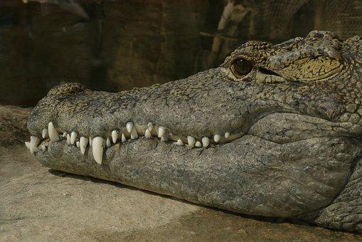 Crocodile, Reptiles, Alligator, Teeth, Zoo, Blijdorp