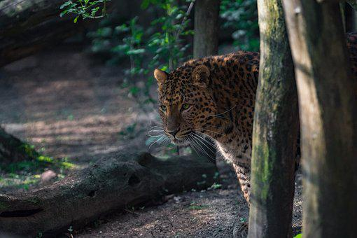 Nature, Wood, Animal World, Cat, Tree, Leopard
