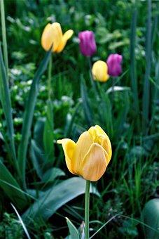 Nature, Flower, Plant, Tulip, Leaf, Bright, Garden